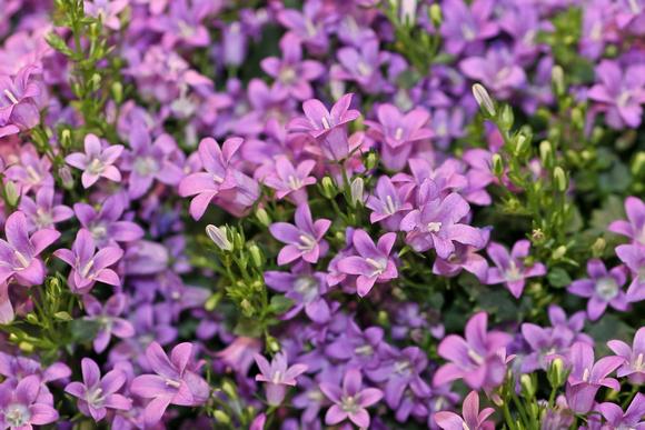 Chris weigl photography misc plants little purple flowers little purple flowers mightylinksfo
